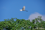 Great Egret with a fish in its beak, flying in the rainforest.