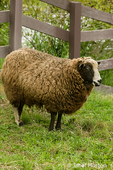 Jacob Sheep in pasture by wood fence