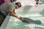 Keeper bottle feeding a young Manatee milk at the Rescue & Rehabilitation Center for River Mammals.