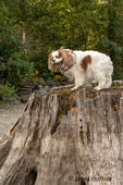 """Cavalier King Charles Spaniel """"Mandy"""" standing on top of a large tree stump in Rattlesnake Lake Recreation Area."""