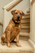 """Red Fox (or Foxred) Labrador """"Mitchell"""" sitting on the landing of a stairwell."""