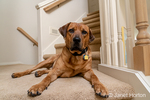 """Red Fox (or Foxred) Labrador """"Mitchell"""" reclining on the landing of a stairwell."""