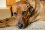 """Portrait of a Red Fox (or Foxred) Labrador """"Mitchell"""" lying on the floor."""