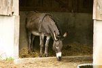 Donkey or burro named Ethel in her stall at Fall City Farms