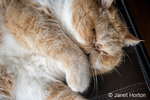 """Portrait of a sleeping purebred Exotic Shorthair domestic cat, """"Smush""""."""