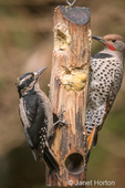 Female Hairy Woodpecker and male Northern Flicker eating at a suet log feeder.