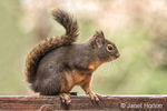 Douglas' Squirrel resting on the back of a wooden bench.  Also known as a Chickaree, Chicory, Douglas squirrel or Pine Squirrel.