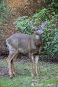 Male Mule Deer with antlers just barely visible in a rural residential yard.