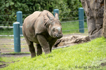 Taj, a 17-month-old male Greater One-horned Rhinoceros / Indian Rhinoceros / Great Indian Rhinoceros walking in his new home at the Woodland Park Zoo.