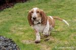 """Renton, Washington, USA.  Five month old Basset Hound puppy """"Elvis"""" running in his yard."""
