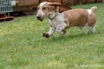 "Renton, Washington, USA.  Five month old Basset Hound puppy ""Elvis"" running in his wet yard, causing water to be thrown up."