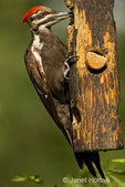 Pileated Woodpecker eating from a log suet feeder