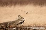 Short-eared owl in flight by Skagit Bay near Conway, Washington, USA