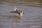 San Simeon, California, USA.  Least Sandpiper bathing in shallow water.