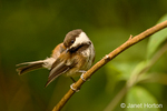Chestnut-backed Chickadee sitting on a branch, looking over his shoulder, looking very shy