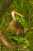 Corkscrew Swamp Sanctuary, Florida, USA.  Limpkin walking in wooded swamp.