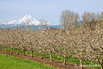 Hood River, Oegon, USA.  Apple orchard in bloom with snow-covered Mt. Hood in the background.  (For editorial use only)