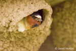 Yellowstone National Park, Wyoming, USA.  Cliff Swallow peering out of its mud nest curiously and wary..