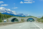 The Trans-Canada Highway in Banff National Park, Alberta, Canada has fencing on both sides of the twinned highway to keep large animals from accessing the highway right-of-way, as well as wildlife underpasses and overpasses to connect vital habitats and help sustain healthy wildlife populations by allowing animals to cross under or over the highway.