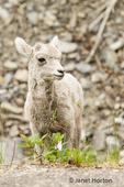 Icefields Parkway, Jasper National Park, Alberta, Canada.  Baby Bighorn Sheep