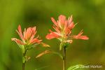 Red Indian Paintbrush (Castilleja miniata) wildflower found along the Patricia Lake Circle trail near Jasper, Jasper National Park, Alberta, Canada