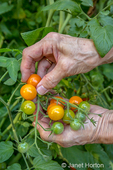 Issaquah, Washington, USA.  Woman harvesting Sungold cherry tomatoes. (MR)