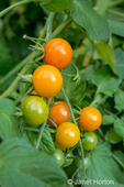 Issaquah, Washington, USA.  Sungold cherry tomatoes on the vine in various stages of ripeness.