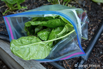 Issaquah, Washington, USA.  Bag of freshly harvested spinach.