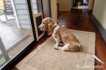 "Renton, Washington, USA.  Three month old Basset Hound ""Elvis"" waiting by a door to be let out.  (PR)"