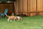 """Renton, Washington, USA.  Three month old Basset Hound """"Elvis"""" following a scent in his yard.  (PR)"""