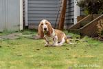 """Renton, Washington, USA.  Three month old Basset Hound """"Elvis"""" sitting in his yard.  (PR)"""