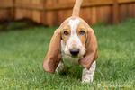 Renton, Washington, USA.  Three month old Basset Hound