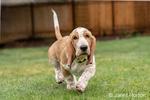 """Renton, Washington, USA.  Three month old Basset Hound """"Elvis"""" running in his yard.  (PR)"""