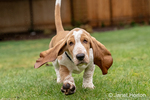 "Renton, Washington, USA.  Three month old Basset Hound ""Elvis"" running in his yard, with water being splashed up off the wet grass.  (PR)"