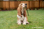 "Renton, Washington, USA.  Three month old Basset Hound ""Elvis"" chewing on a stick in his yard.  (PR)"