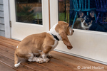 "Renton, Washington, USA.  Three month old Basset Hound ""Elvis"" waiting to be let inside, staring at his pal ""Millie"", a Corgi, who is inside.  (PR)"