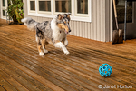 Issaquah, Washington.  Five month old Blue Meryl Rough Collie chasing a ball on her deck. (PR)
