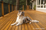 Issaquah, Washington.  Five month old Blue Meryl Rough Collie lying down on a wooden deck. (PR)