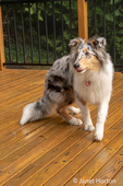 Issaquah, Washington.  Five month old Blue Meryl Rough Collie licking his lips in hopes of getting another treat. (PR)