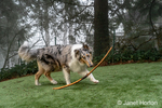Issaquah, Washington.  Five month old Blue Meryl Rough Collie playing with a stick. (PR)