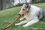 Issaquah, Washington.  Five month old Blue Meryl Rough Collie chewing on a stick. (PR)