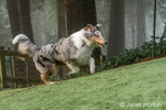 Issaquah, Washington.  Five month old Blue Meryl Rough Collie running in its yard. (PR)