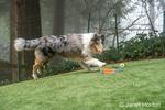Issaquah, Washington.  Five month old Blue Meryl Rough Collie running in its yard. (PR)