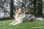 Issaquah, Washington.  Five month old Blue Meryl Rough Collie reclining in his yard. (PR)