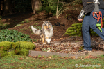 Issaquah, Washington.  Five month old Blue Meryl Rough Collie running toward his owner after a come command. (PR) (MR)