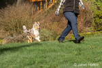 Issaquah, Washington.  Five month old Blue Meryl Rough Collie following his owner in his yard. (PR) (MR)