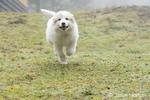 Issaquah, Washington, USA.   Ten week old Great Pyrenees puppy running on her farm. (PR)