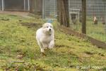 Issaquah, Washington, USA.   Ten week old Great Pyrenees puppy running next to the chicken pen on her farm. (PR)