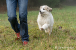 Issaquah, Washington, USA.   Ten week old Great Pyrenees puppy running after her owner on a foggy day.  (PR) (MR)