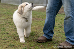 Issaquah, Washington, USA.  Ten week old Great Pyrenees puppy walking on his farm, looking up at her owner with hope of getting a treat.  (PR) (MR)